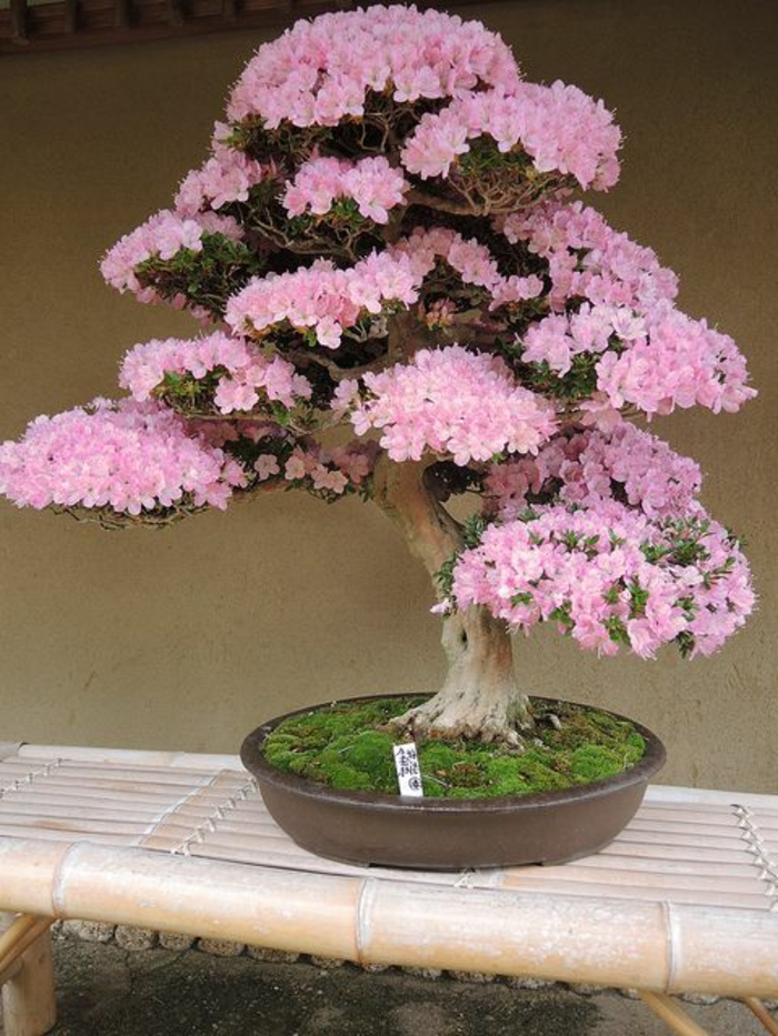 Bonsai Flower Blooms Azalea