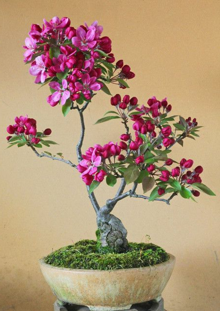 recipientes de cerámica cyclamen color de musgo Bonsai flor del arte