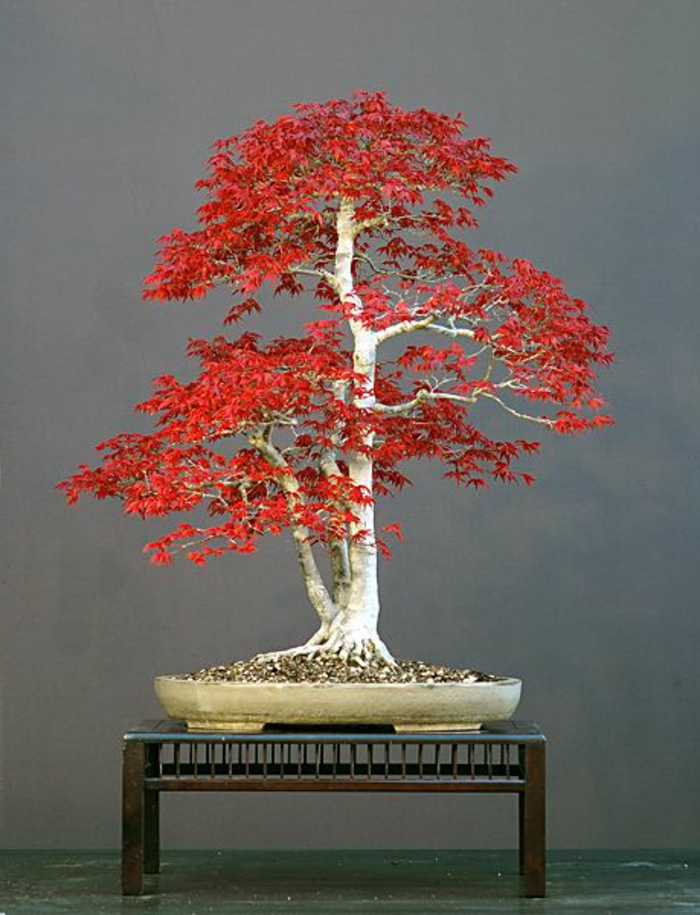 Bonsai Japanin Maple Red Leaves Taide