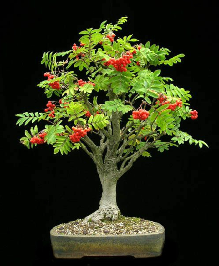 Rowan frutos bonsai