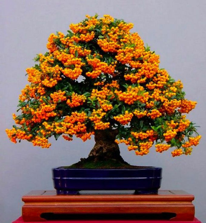 frutas de color naranja firethorn árbol bonsai